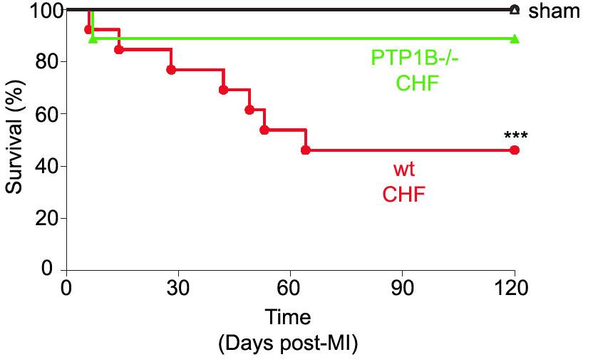 Endothelial protection = CHF prevention?